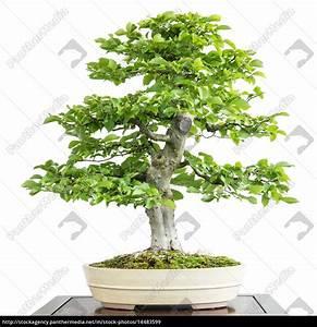 Hainbuche Baum Schneiden : alte hainbuche als bonsai baum lizenzfreies bild ~ Watch28wear.com Haus und Dekorationen