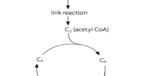 aerobic respiration link reaction biology notes