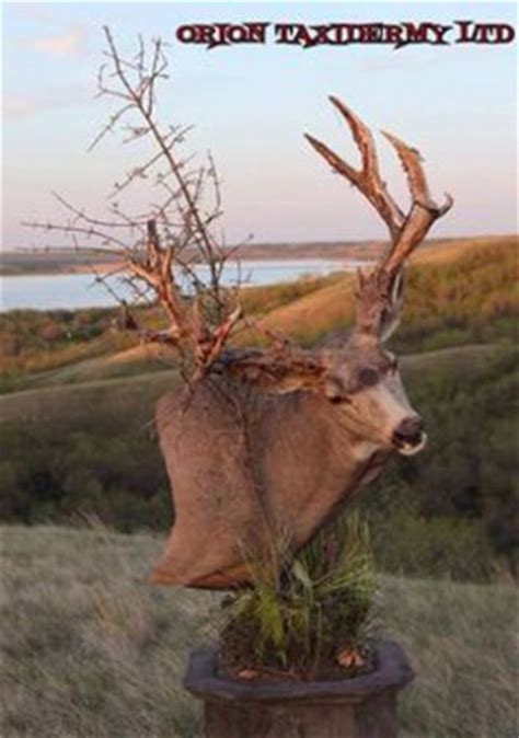 creative mule deer mounts gohunt