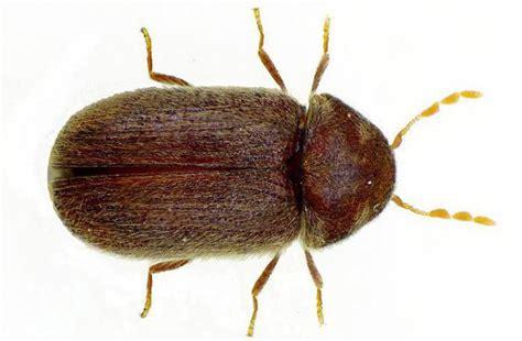 comment se d 233 barrasser des scarab 233 es de farine dans la cuisine m 233 thodes et recommandations