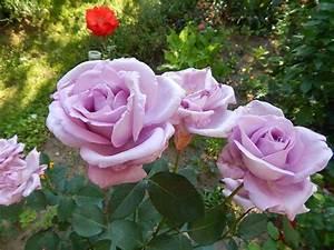 Mainzer Fastnacht Rose : mainzer fastnacht my garden roses and ps ~ Orissabook.com Haus und Dekorationen