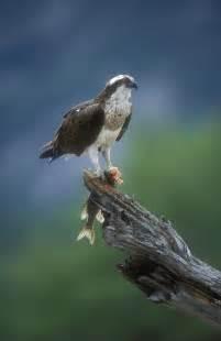 Osprey Bird