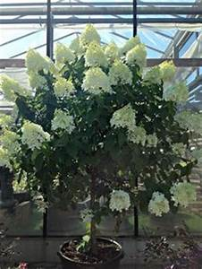 Eichenblatt Hortensie Schneiden : limelight hydrangea tree google search i can dig it ~ Lizthompson.info Haus und Dekorationen