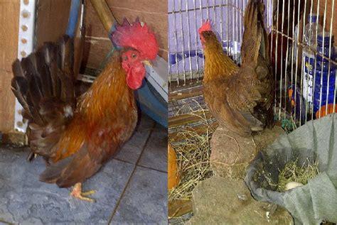 jual ayam serama kate malaysia
