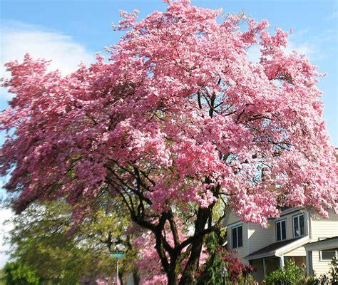 dogwood flowering tree pink dogwood flowering tree ison s nursery vineyard