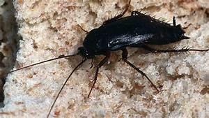 Ungeziefer In Der Wohnung Arten : kakerlaken bek mpfen tipps gegen schaben in haus und wohnung ~ Lizthompson.info Haus und Dekorationen