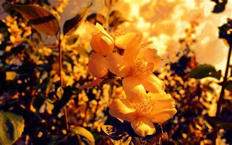 Yellow Flowers Backgrounds Hd Desktop Wallpapers 4k Hd