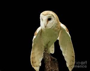 Barn Owl Photography