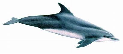 Bottlenose Dolphin Dolphins Tursiops Genus Truncatus Whaleopedia