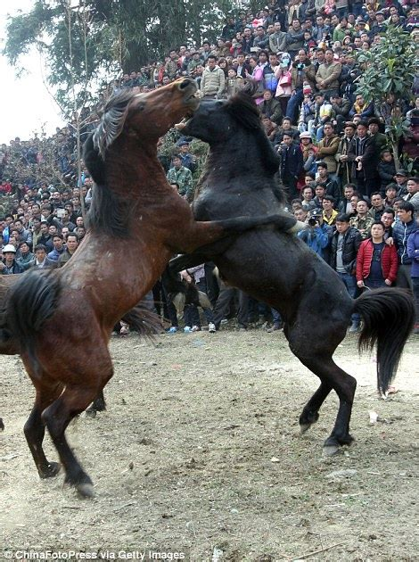 horses fight    barbaric chinese competition
