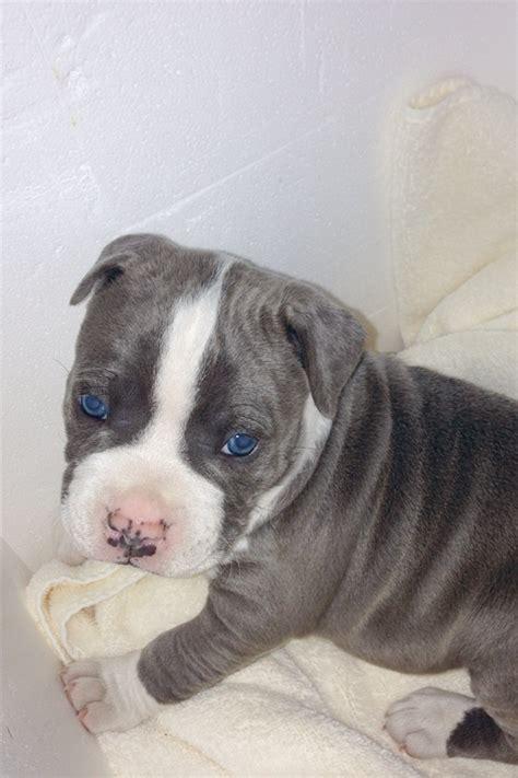 blue bulldog ideas  pinterest blue english
