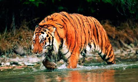 tigre siberiano caracteristicas   donde vive