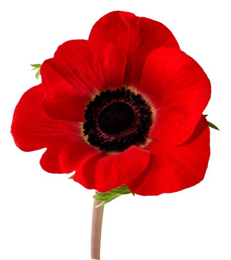 memorial poppy flower justine picardie remembrance sunday
