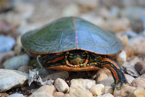 painted turtle outdoor alabama