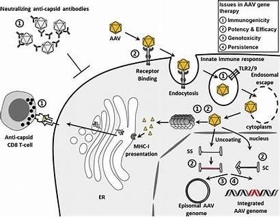 Therapy Aav Gene Cell Vivo Liver Mediated