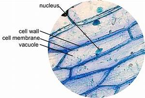 Onion Epidermal Cell Labeled Diagram Vaculoe