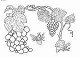 Grapes Plants Coloring Fruits sketch template
