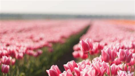 wallpaper tulip  hd wallpaper spring flower field
