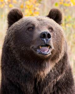 North American Brown Bear  Grizzly Bear  Stock Photo