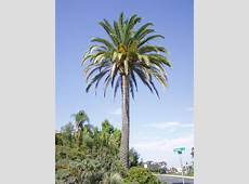 National Tree Of Saudi Arabia Phoenix Palm 123Countriescom