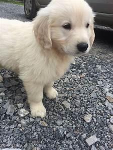 golden retriever puppies for sale llandeilo