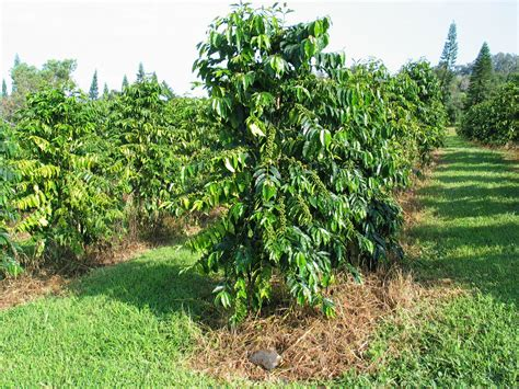 For each cofee tree picture just click on the tree picture to make the coffee tree picture enlarge. Quotes From The Bean Trees. QuotesGram