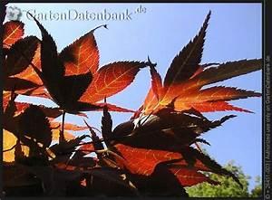 Ahorn Rote Blätter : f cherahorn japanischer ahorn bilder fotos acer palmatum bild mit infos ~ Eleganceandgraceweddings.com Haus und Dekorationen