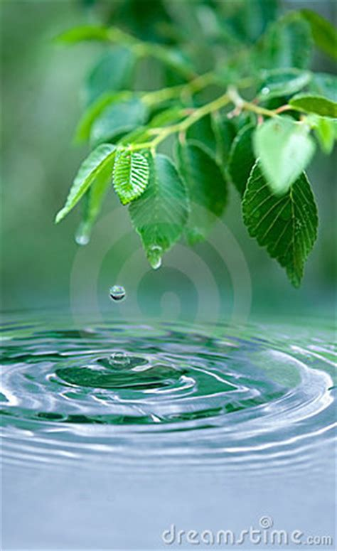 water drop  wet leaves royalty  stock photography