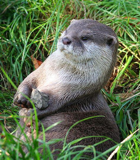 oriental short clawed otter rzss blog