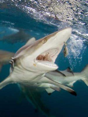 shark series diving  blacktip reef sharks divein