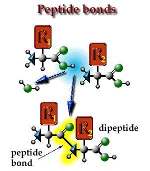 dipeptide bond