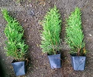 Thuja Smaragd Wachstum : thuja smaragd 50 cm 0 7 l e pflanzen ~ Michelbontemps.com Haus und Dekorationen