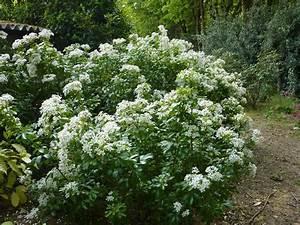 Arbuste À Feuillage Persistant : choisya ternata ~ Melissatoandfro.com Idées de Décoration