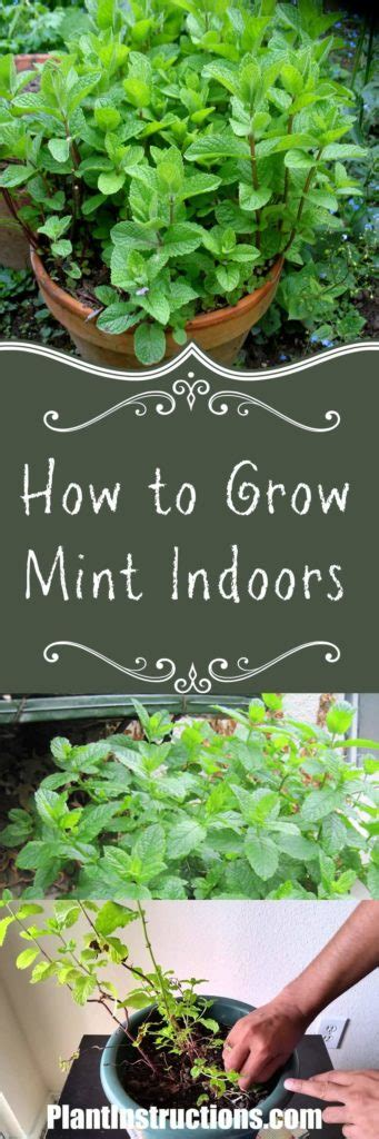 How To Grow Mint Indoors  Plant Instructions