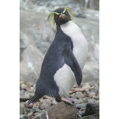 Northern rockhopper penguin » Edinburgh Zoo Gallery