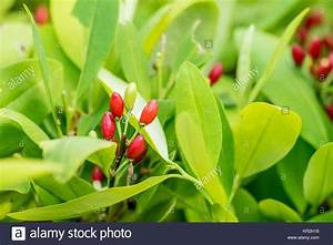 Coca Plant Stock Photos & Coca Plant Stock Images - Alamy