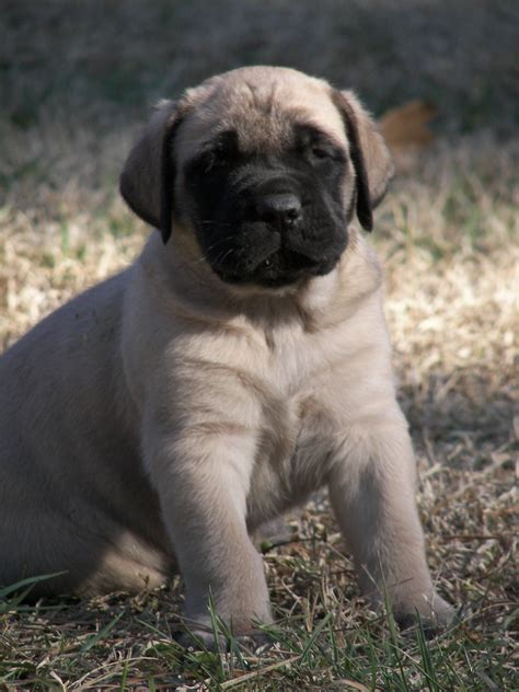 Mastiff Puppies For Sale Two Ponds Kennel