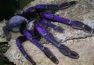 Wow! A purple tarantula! Coolz! B-) | Bugs | Pinterest ...