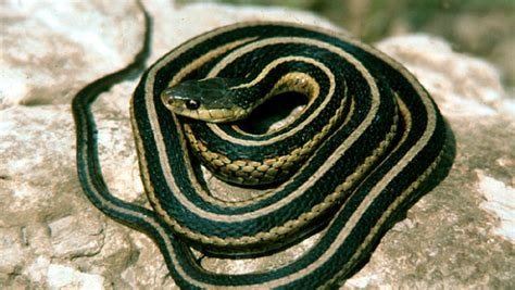 how to get rid of garden snakes getting rid of snakes