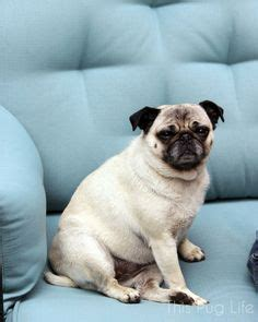 do pugs and puggles shed 1000 images about carlin pug on pug pug