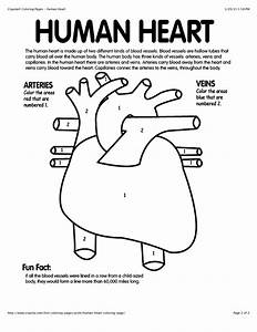 Anatomical Heart Coloring Page