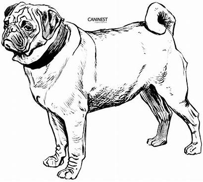 Dog Coloring Pug Breed Drawing Line Draw