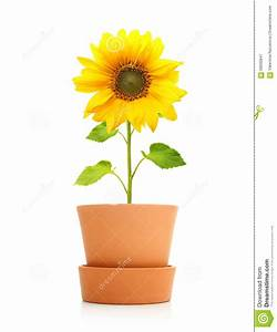 Sunflower Plant In Pot Isolated Stock Photo - Image: 56630847