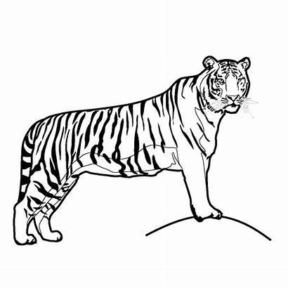 Animals Clip Coloring Tiger Asia Cats Abcteach