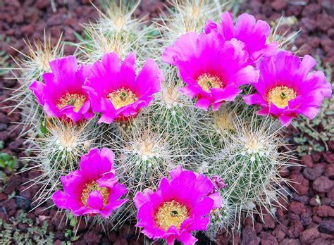 วอลเปเปอร์ : แคคตัส, ดอกไม้, เบ่งบาน, หนาม, หิน 2500x1840 ...