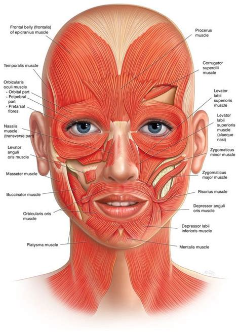 At first you would think this as a hindrance, but actually. Facial muscle names, locations | Facial anatomy, Facial ...