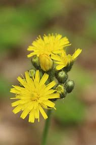 Best perennial flower identification ideas and images on bing ohio weeds with yellow flowers mightylinksfo