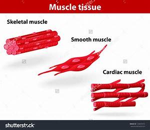 Smooth Muscle Anatomy Smooth Muscle Labelled Diagram ...