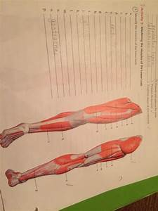 Solved  Identify The Muscles Of The Lower Limb