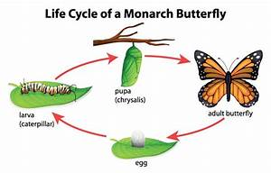 Life Cycle Of A Monarch Butterfly  Blue Ring Media